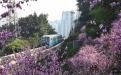 春意盎然 重庆列车穿行花海
