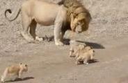 狮妈妈不在,狮爸就负责带小狮子,全程好辛苦,网友:这态度和奶爸带娃一样!